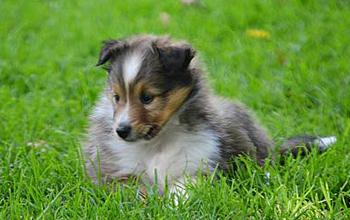 Photo of Sheepdog